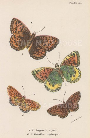 Argynnis aglaia and Breathis euphrosyne. Two examples of each.
