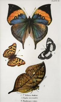 Killima huttoni, Neptis nicomedes and Thaleropus ionia.