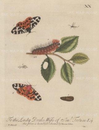 "Albin: Silk Caterpillar. 1749. An original hand coloured antique copper engraving. 8"" x 10"". [NATHISp6815]"