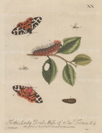 "Albin: Silk Caterpillar. 1749. An original hand coloured antique copper engraving. 8"" x 10"". [NATHISp6815]"