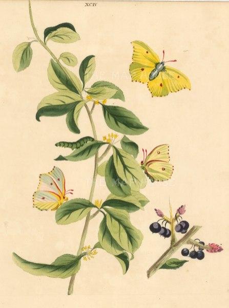 Brimstone Butterfly, papilia rhamn and a Buckthorn branch, rhamnus catharticus.