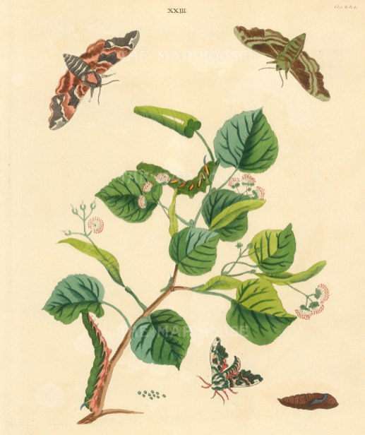 Olive shade Moth, spynx tilliae and a small leaved lime tree branch, tiliae europaea.