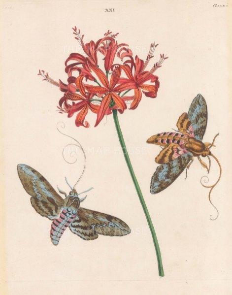 Unicorn or Bindweed Hawk Moth, sphynx tillae and the Guernsey Lily, amarylis sarniensi.