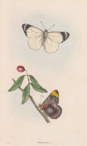 Pieris nigrina from Australia.