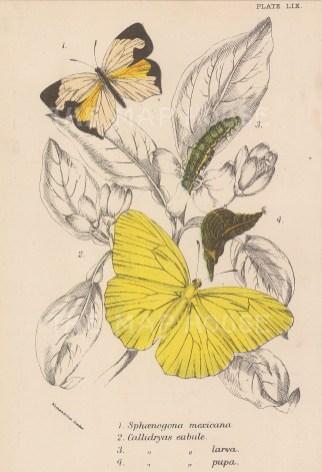 Sphaenogena mexicana and Calldrayas.