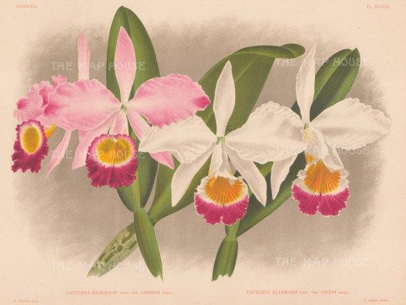 Orchid: Cattleya eldorado. White oweni and pink lindeni varieties.