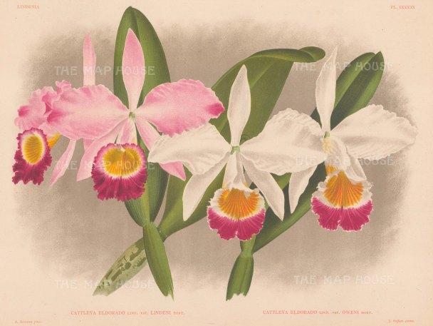 Cattleya eldorado. White oweni and pink lindeni varieties.