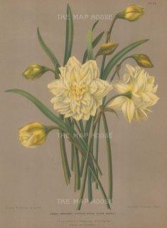 Double Narcissus. Sulphur Kroon Silver Phoenix.