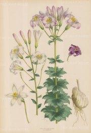 """Fitch: Lily. c1880. A hand coloured original antique lithograph. 14"""" x 20"""". [FLORAp2806]"""