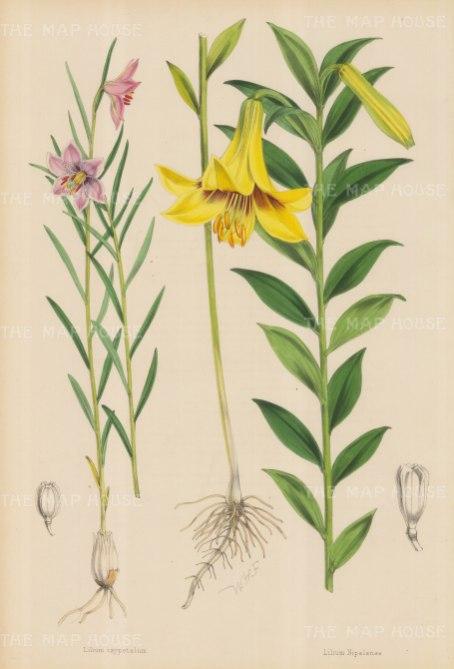 """Fitch: Lilies. c1880. An original hand coloured antique lithograph. 14"""" x 20"""". [FLORAp2808]"""