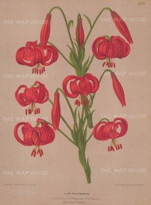 "Van Eeden: Lily. c1872. An original antique chromolithograph. 10"" x 13"". [FLORAp3041]"