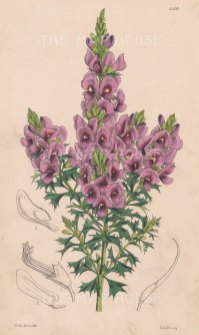Mirabelia Meisense. After Walter Hood Fitch.