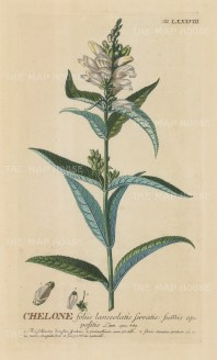 Chelone (Turtlehead plant): With detail of flower and key in Latin. Title heightened in gold.
