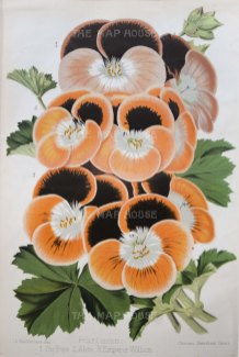 Pansies: Pelargoniums. 3 Varieties. The Pope, Alice, and Emperor William.