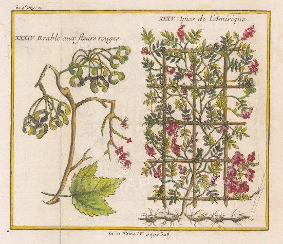 Maple Branch with red flowers (Erable) and American Potato bean (Apios).