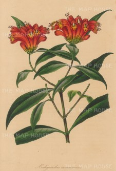 """Paxton: Many-branched Aeschynanthus. 1839. An original hand coloured antique lithograph. 6"""" x 9"""". [FLORAp3202]"""