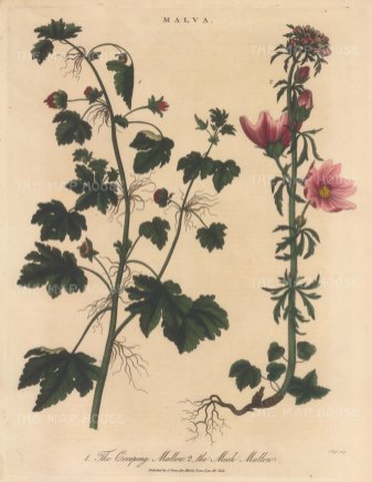 """Wilkes: Creeping Mallow and Musk Malow. 1815. An original hand coloured antique copper engraving. 8"""" x 11"""". [FLORAp3335]"""