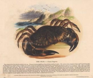 "SPCK: Crab. c1860. An original hand coloured antique wood engraving. 12"" x 10"". [NATHISp7785]"