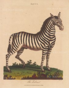 Zebra (Equus): Male Zebra. Engraved by John Pass.