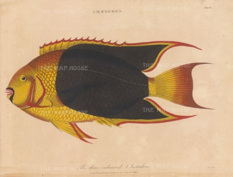 Butterfly Fish (Chaetodon): The three coloured Chetodon. After Marcus Bloch. Engraved by John Pass.