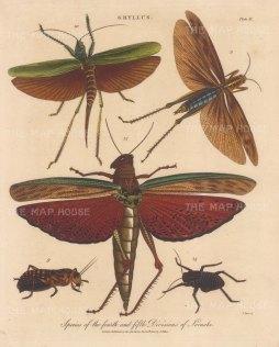 Locusts (Gryllus): G. foliaceus, Acrydium, G bipunctatus, G fabulatus, G. opacus. Engraved by John Pass.