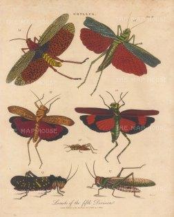 Locusts (Gryllus): G.bisasciatus, G bimaculatus, G granulatus, G leucostictos, G. griseus, G binotatus and Acheta. Engraved by John Pass.