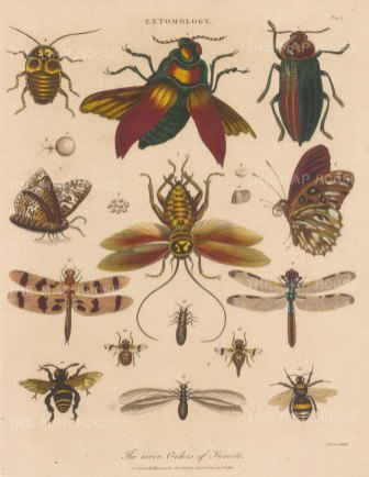 Insects (Entymology): Orders of Linneas. The Coleopterous male 1, femaile 2, Hemipterous male 3, female 4, with egs and larvae, Lepidopterous 5, 6, eggs 7-9, Neuropterous male 10, female 11, Hymenopterous male12 female 13, Dipterous male 14 , female 15 Apterous female 16, male 17, Engraved by John Pass.