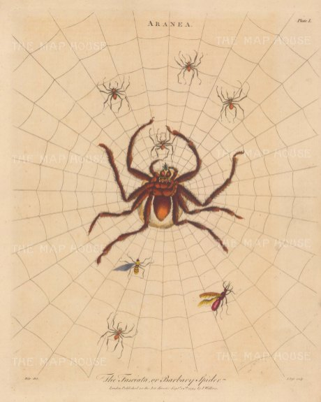 Tarantula (Arachne): Faciata (Barbary) Spider in its web with young and insects. Engraved by John Pass.