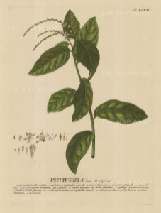 Petiveria (Pigeonberry): With detail of the flower and key in Latin. Title heightened in gold.
