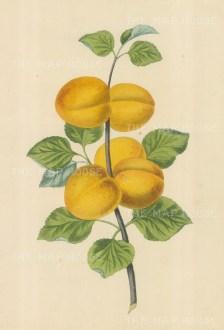 "Brookshaw: Plums. c1817. An original colour antique mixed method engraving. 9"" x 12"". [NATHISp4311]"