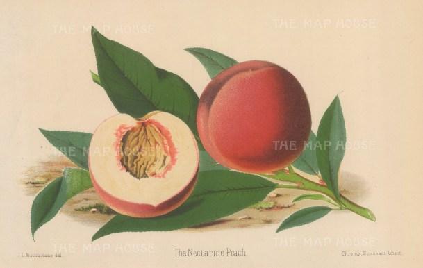 "Fitch: Peach. 1884. An original antique chromolithograph. 11"" x 7"". [NATHISp6911]"