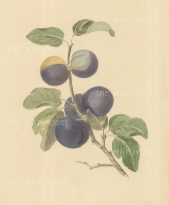 "Brookshaw: Plums. c1817. An original colour mixed method engraving. 9"" x 12"". [NATHISp7257]"