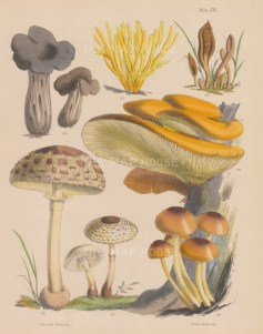 Helvelia, Clavaria, Geoglossum and four varieties of Agaricus.