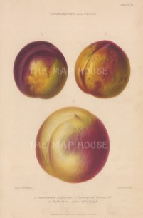 Peach: Imperatrice Nectarine, Pitmaston Orange D. and Walburton Admirable Peach. After Augusta Withers.