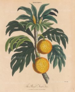 "Wilkes: Breadfruit. 1810. An original hand coloured antique copper engraving. 8"" x 11"". [NATHISp7802]"