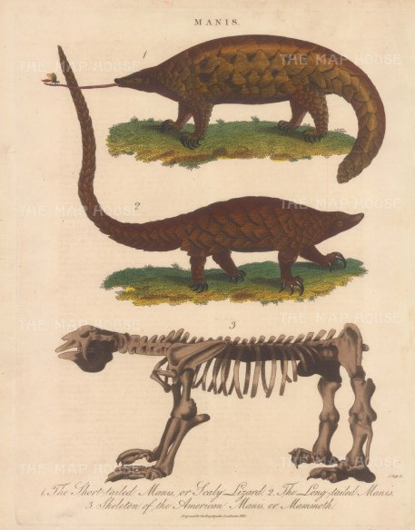 Pangolin (Manis): Short tailed and longtailed Pangolin (scaly anteater) with skeleton of a mammoth Pangolin. Engraved by John Pass.