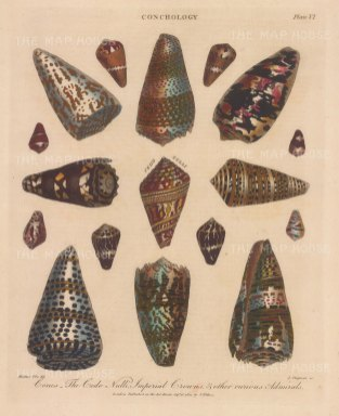 Volutes: Cones. The Cedo Null with Imperial Crowns with Admiral shells. After Albertus Seba, engraved by John Pass.