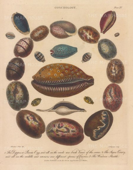 Bullae (Pewit's Egg or Dipper). 12 Dippers, Argus Cowry with 9 Cowries and a Weaver Shuttle. After Albertus Seba, engraved by John Pass.
