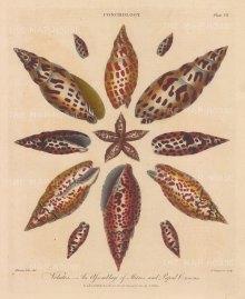 Volutes: 11 Mitres and 6 Papal Crowns. After Albertus Seba, engraved by John Pass.