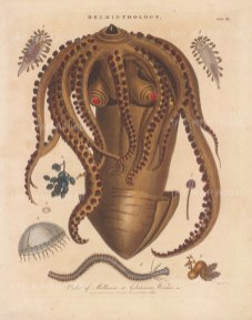 Cuttlefish: With eight specimens of Jelly fish. Crustaceans: Cristatus Crab, Paurus Crab and Common Lobster. Engraved by John Pass.