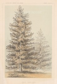 Pinus Contorta.
