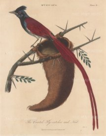 Fly catcher (Musicapa): Crested Fly catcher with nest.