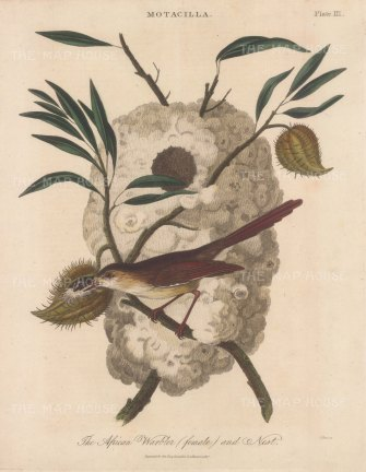 Warbler (Motacilla): African Warbler with nest.