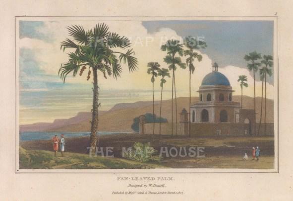"Daniell: Fan-leaved Palm. 1807. A hand coloured original antique aquatint. 7"" x 4"". [NATHISp7872]"