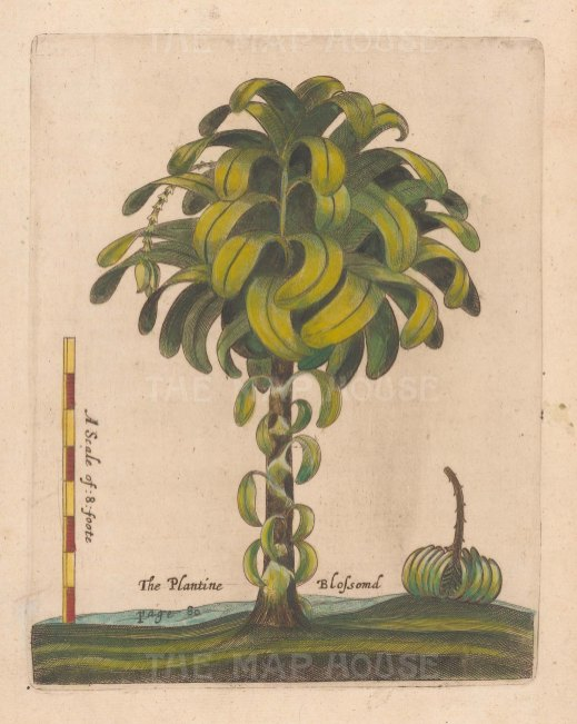 Plantain Tree. Scarce. Plantain in blossom with fruit. From one of the earliest works on Barbados.