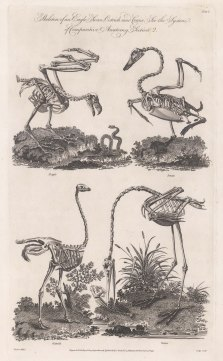 Comparative Anatomy: Skeleton of a Eagle, Swan, Ostrich and Crane.