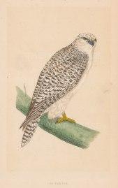 "Morris: Jer Falcon. 1855. An original hand coloured antique lithograph. 5"" x 8"". [NATHISp7913]"