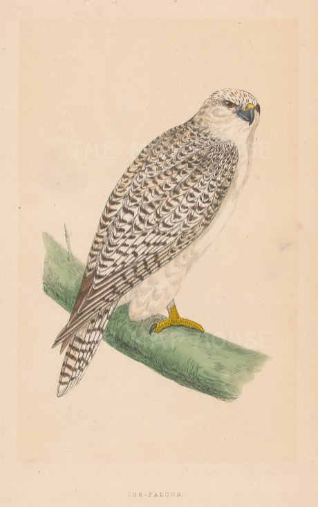 "Morris: Jer Falcon. 1855. An original hand coloured antique lithograph. 5"" x 8"". [NATHISp7913]"