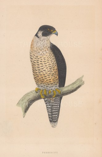 "Morris: Peregrine Falcon. 1855. An original hand coloured antique lithograph. 5"" x 8"". [NATHISp7914]"