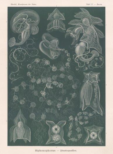 Jellyfish: 1-2. Praya galea and 3-8. Bassia obeliscus.
